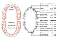 dentizione umana